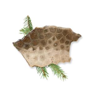 Petoskey Stone Slab C1